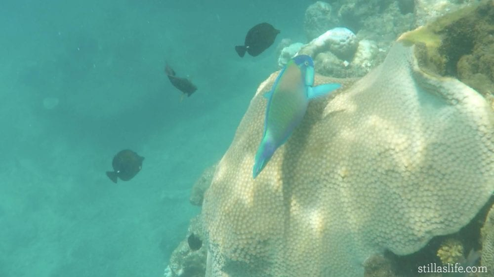 One of the parrot fish we found on the guided snorkel tour