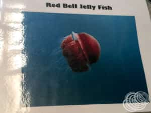 Watch out for Red Bell Jelly Fish