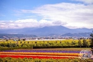 Furano Flowers at Farm Tomita