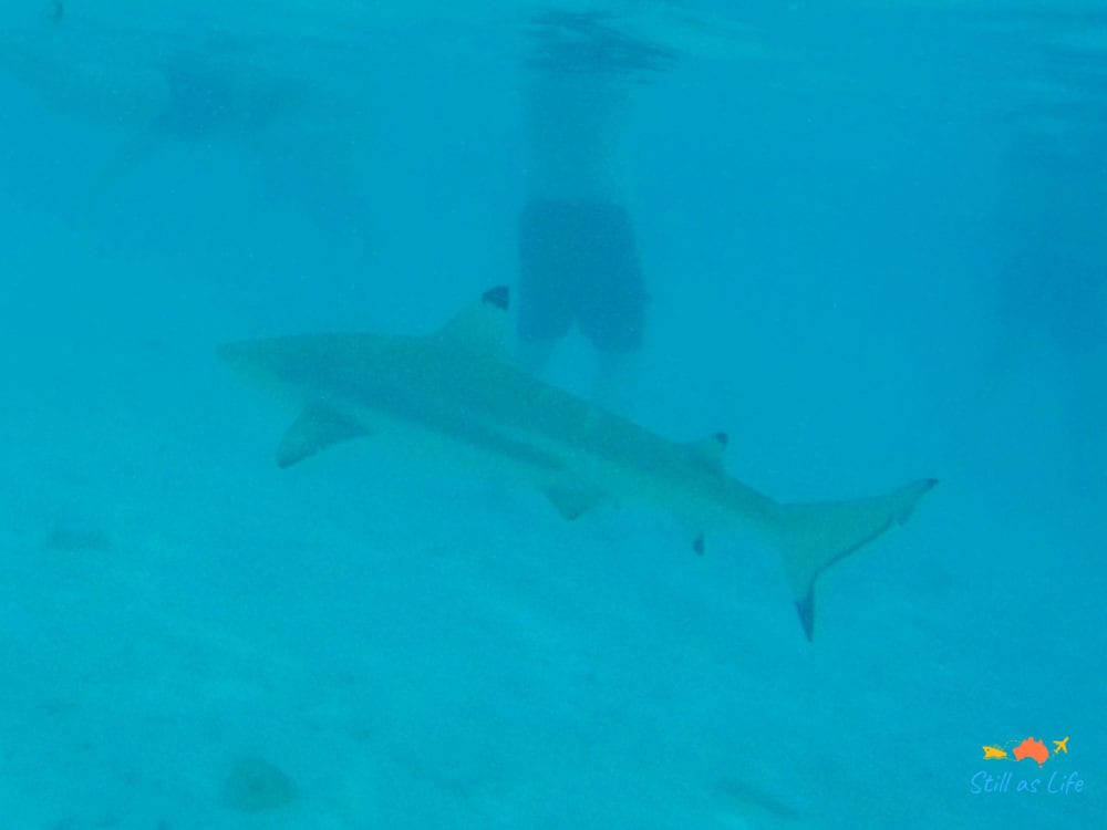 Swimming with Sharks at Bora Bora