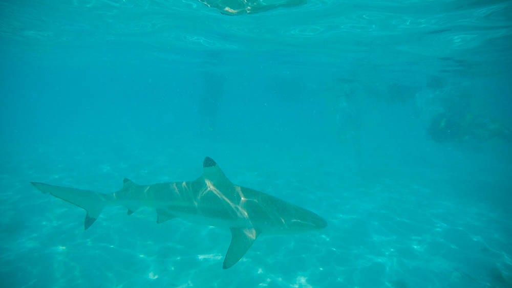 A shark at Bora Bora