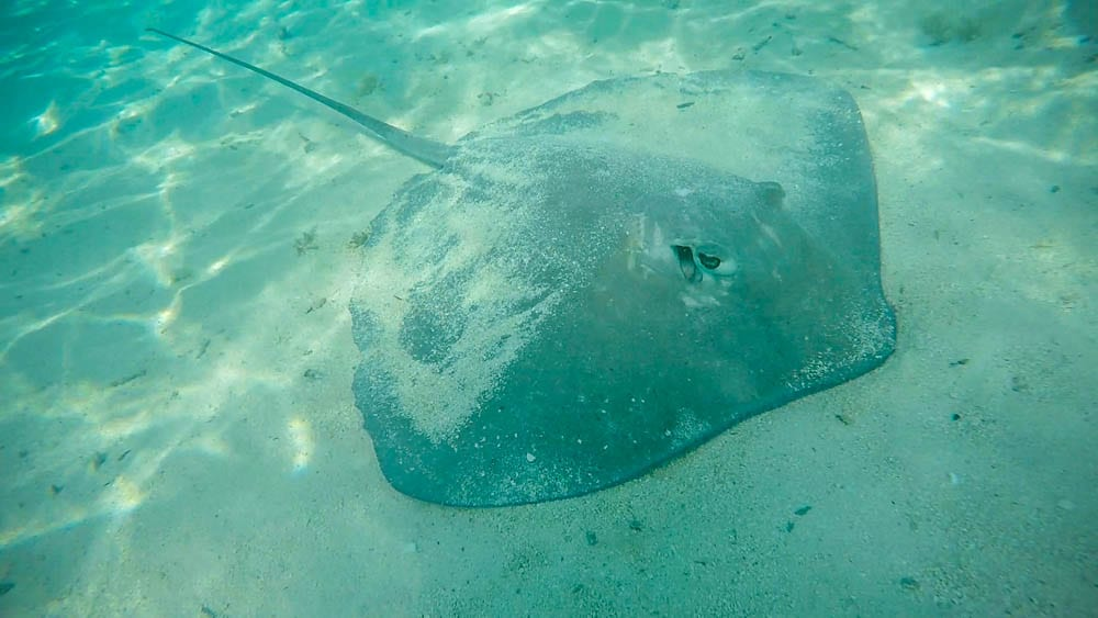 A stingray at Bora Bora