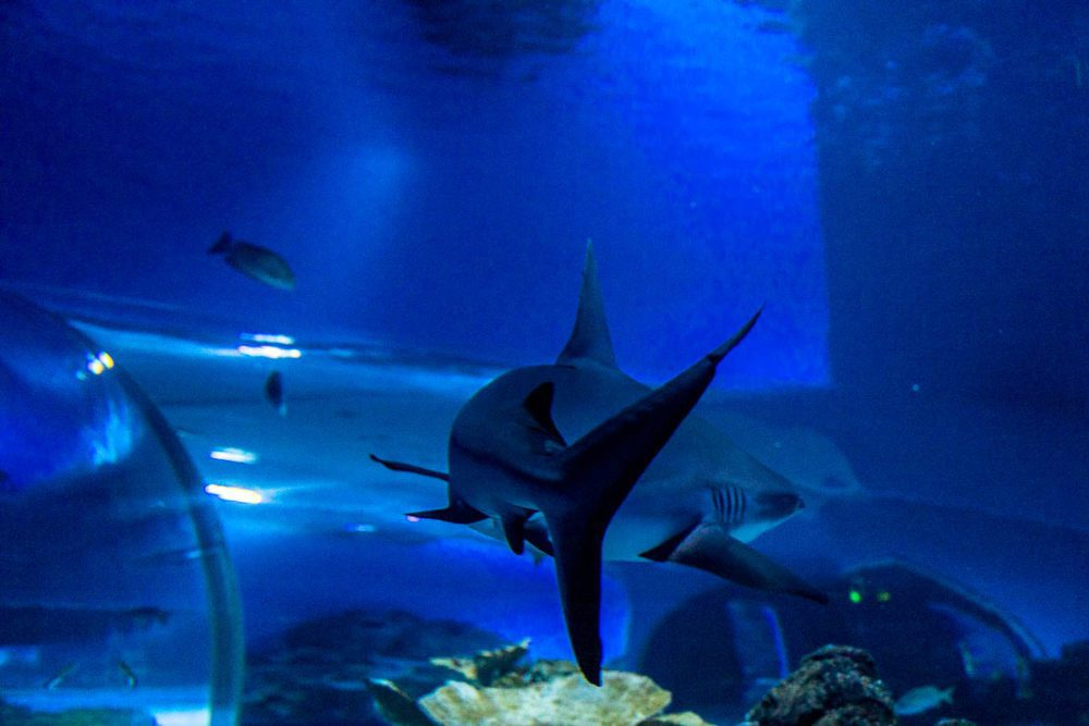 Shark in front of the Ocean Tunnel