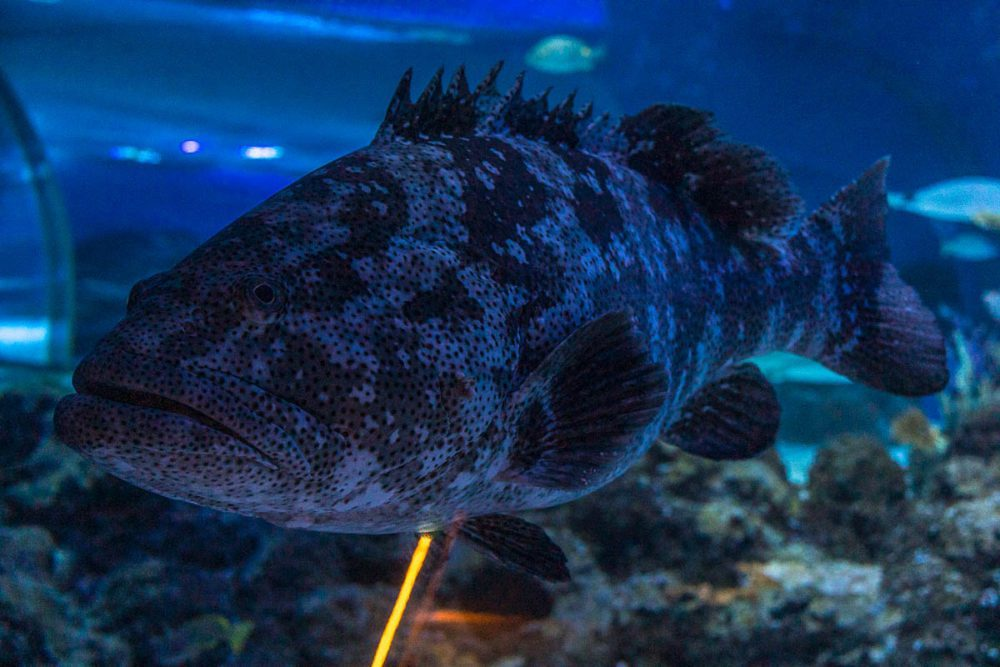 One of the big fish in the Oceanarium at the Coral Sea Amphitheatre